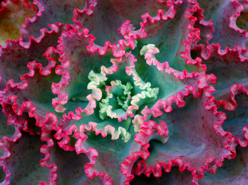 Echeveria Dicks Pink