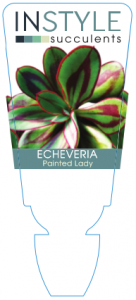 Echeveria Painted Lady