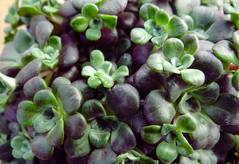 Sedum Purple Mound