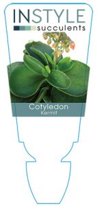 succulent-instyleCotyledon-Kermit