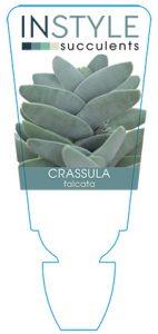 succulent-instyleCrassula-falcata