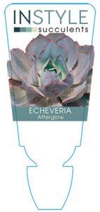 succulent-instyleEcheveria-Afterglow