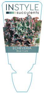 succulent-instyleEcheveria-Blue-Curls