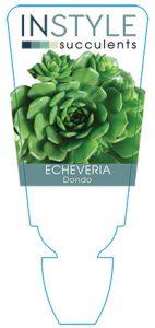 succulent-instyleEcheveria-Dondo