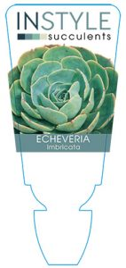 succulent-instyleEcheveria-Imbricata