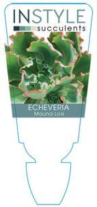 succulent-instyleEcheveria-Mauna-Loa