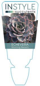 succulent-instyleEcheveria-Morning-Beauty