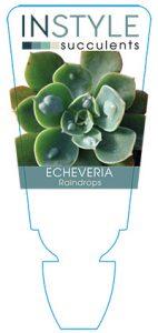 succulent-instyleEcheveria-Raindrops