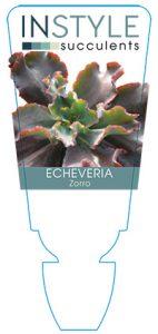 succulent-instyleEcheveria-Zorro