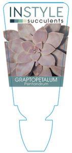 succulent-instyleGraptopetalum-Pentandrum