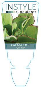 succulent-instyleKalanchoe-Gremlin