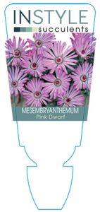 succulent-instyleMesembryanthemum-Pink