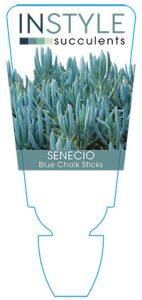 succulent-instyleSenecio-Blue-Chalk-Sticks