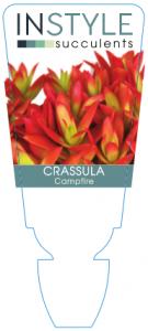 Crassula Campfire