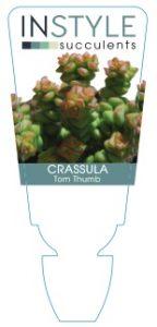 Crassula-Tom-Thumb