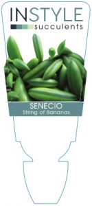 Senecio-Bananas