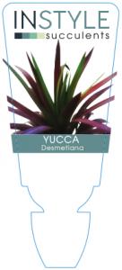 Yucca Desmetiana