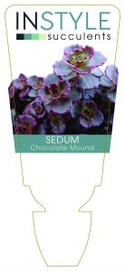 Sedum Chocolate Mound
