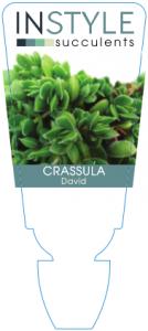 Crassula David