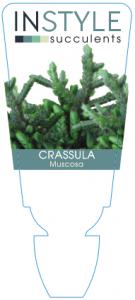 Crassula Muscosa