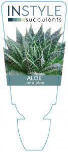 Aloe Lace Aloe