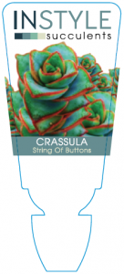 Crassula String Of Buttons