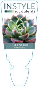 Echeveria Shamrock