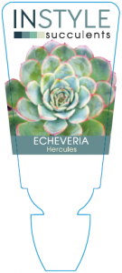 Echeveria Hercules
