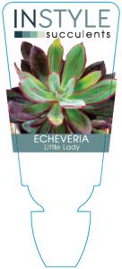 Echeveria Little Lady