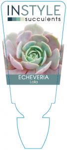 Echeveria Lola
