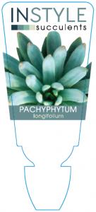 Pach Longifolium