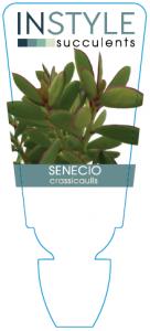 Senecio Crassicaulis