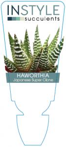 Haworthia Japanese Super Clone